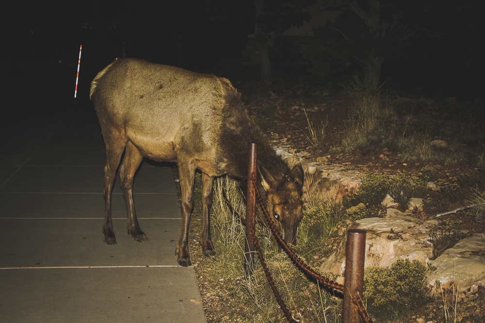 In the post, I said I only took 1 photo of the Mule Deer at night, to feel all high-and-mighty. But if you made it all the way to the gallery, you see that I'm a lying butt who took two photos.