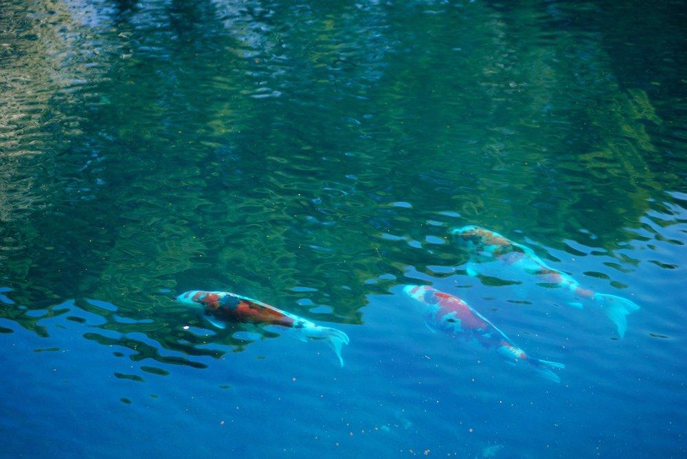 Koi Fish: The Japanese Carp — TOKI