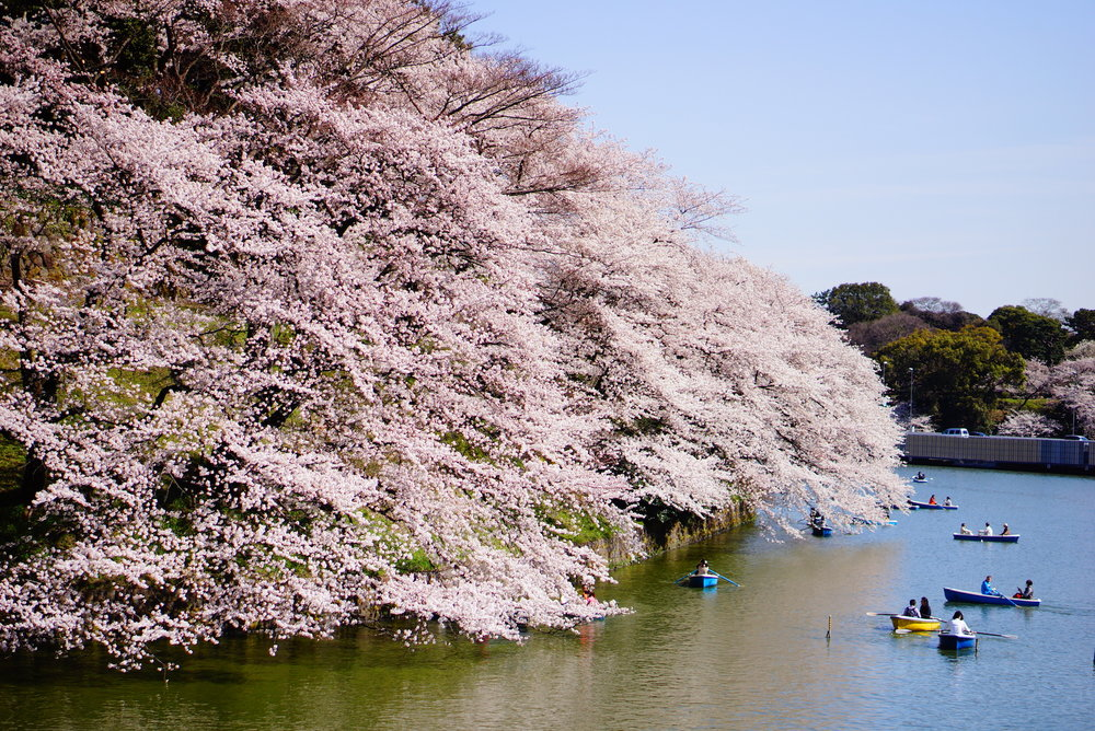 Hanami, or cherry blossom viewing, takes place during the short time that the flowers are in bloom. ©TOKI