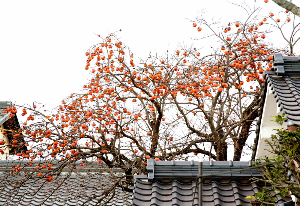 Losing their leaves during fall, persimmon trees are left with branches full of fruit. ©TOKI