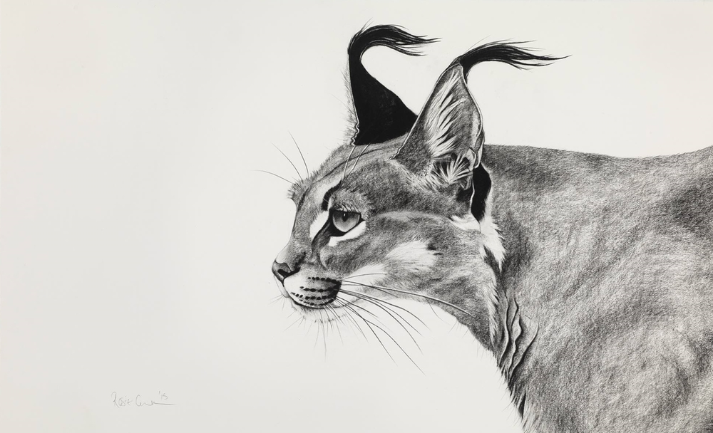 3. CARACAL IN THE WIND