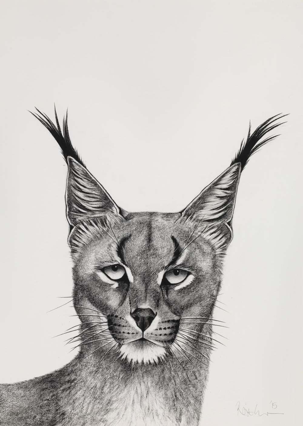 4. CARACAL LOOKING