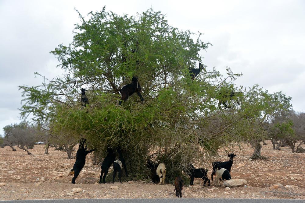 Cabras na árvore de Argania