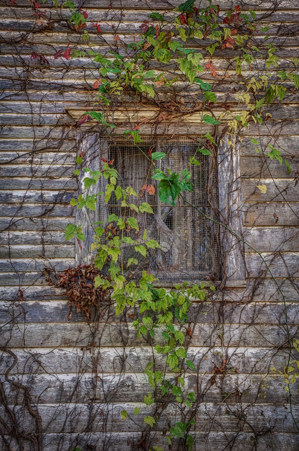 Ivy Window II sm.jpg