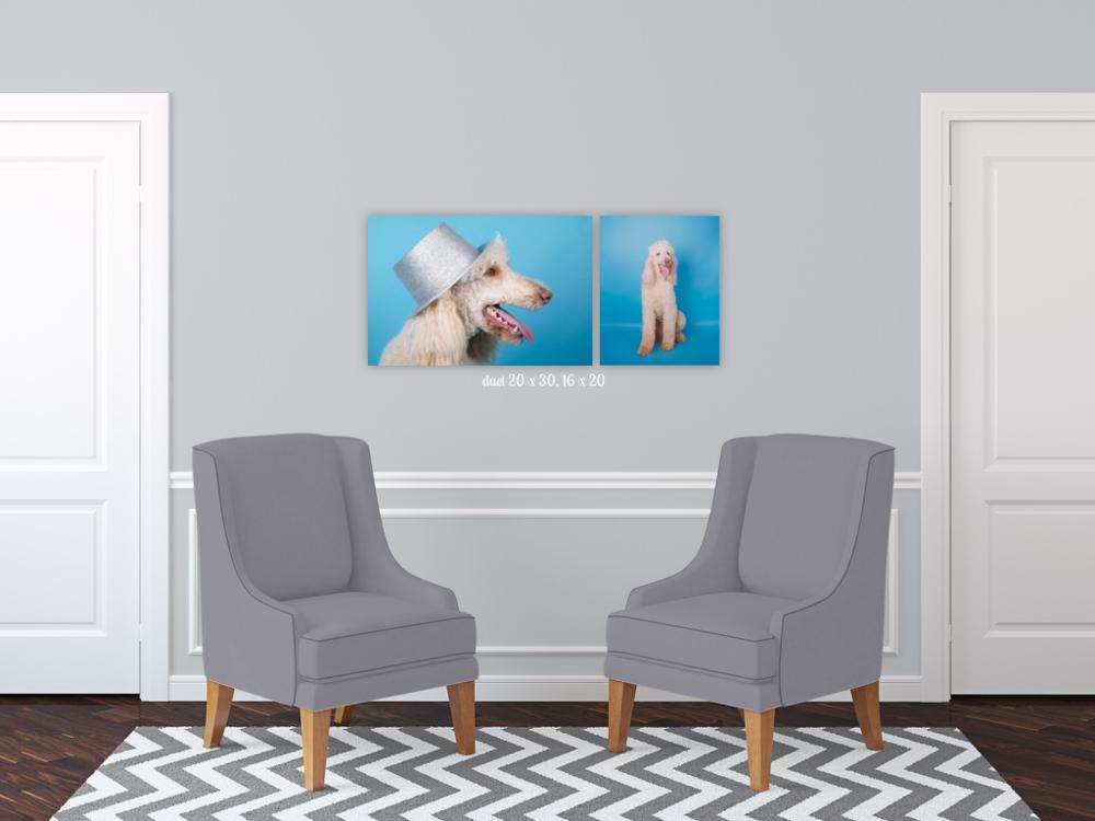 dog photographer auckland, dog photography auckland, auckland photographer, gift idea for dog lover, pet photoshoot, dog wall art, dog photo on wall, yellow lab pet photo, french poodle photoshoot, poodle on blue