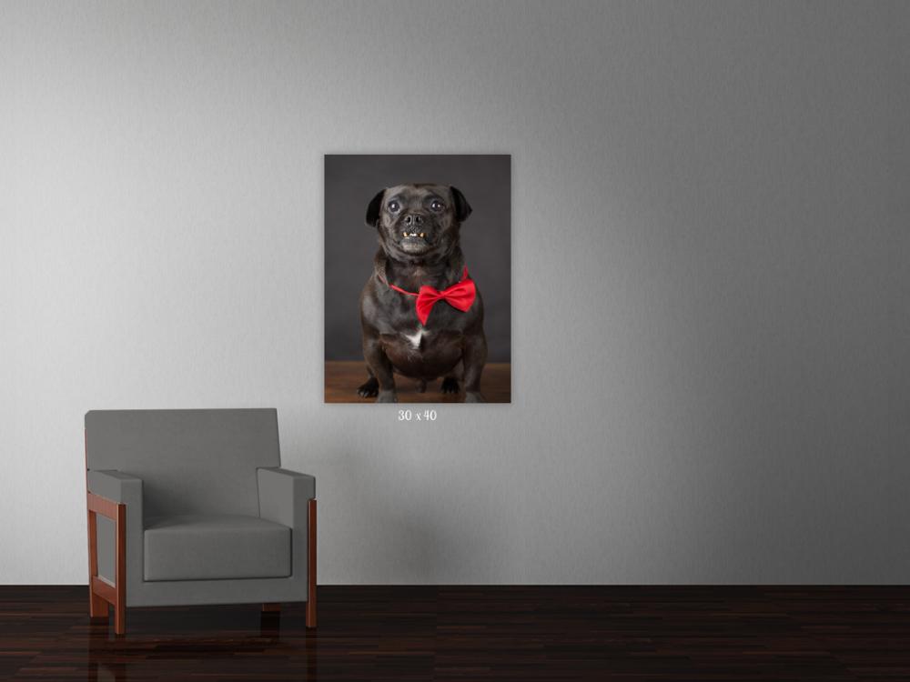 dog photographer auckland, dog photography auckland, auckland photographer, gift idea for dog lover, pet photoshoot, dog wall art, dog photo on wall, yellow lab pet photo