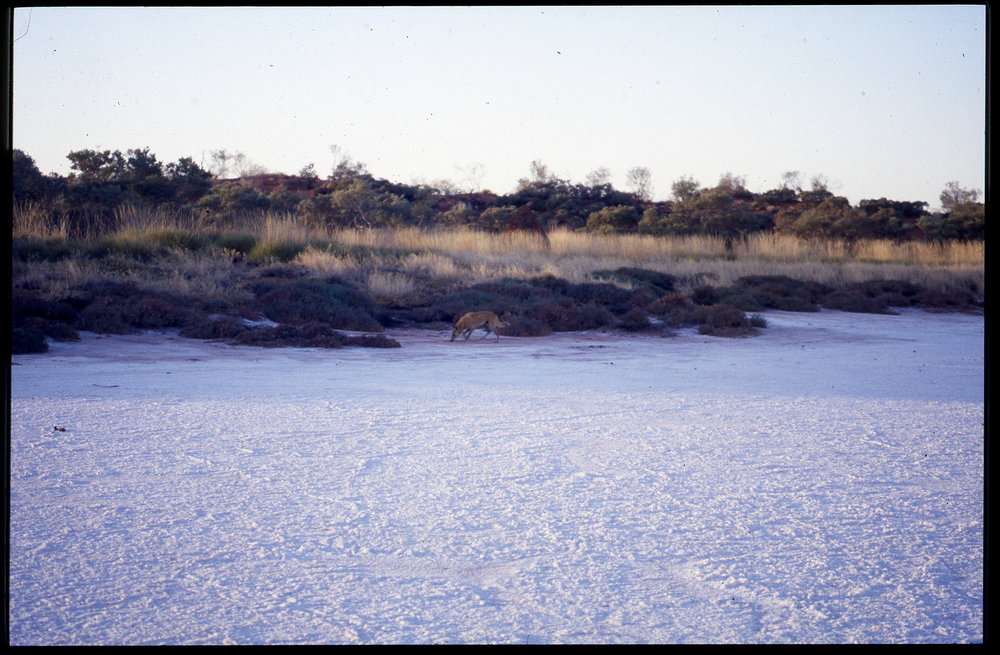 A dingo on the salt lakes of Warla, 1990s. Photo:  Mangkaja Arts .