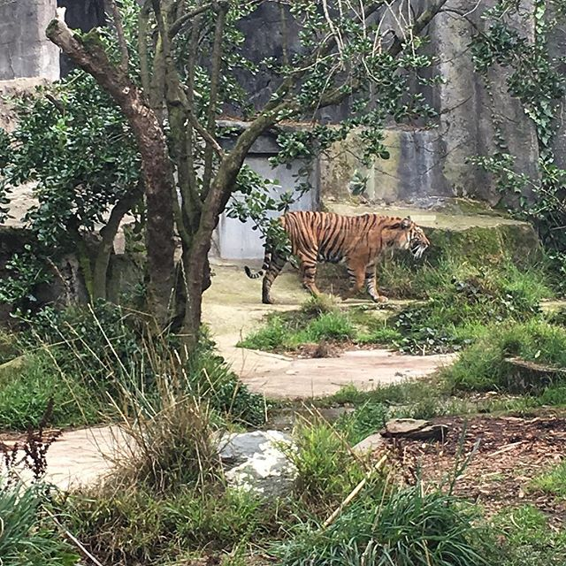 The #tigers are actually awake and doin' stuff for once at the #sfzoo
