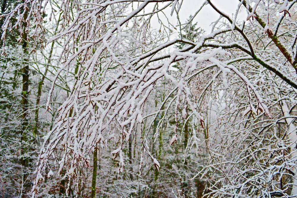 snow branches.jpg