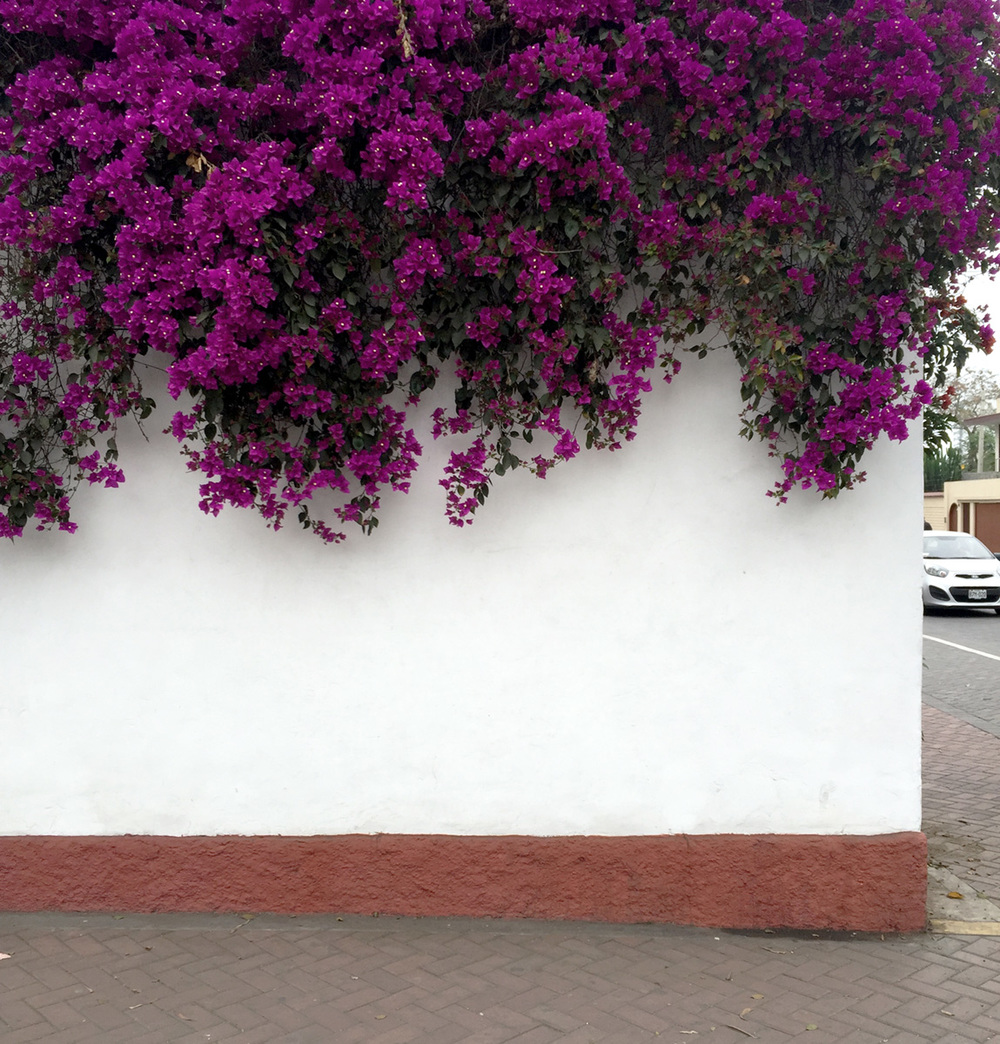 Bougainvillea blanket the perimeter walls of the Larco Museo in the Pueblo Libre neighborhood of Lima.