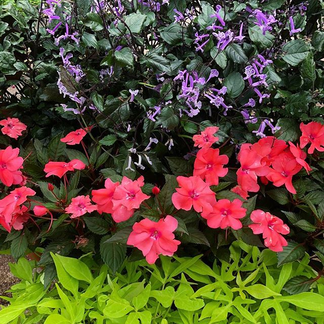 Nice combination of annuals for part shade- Mona Lavender, Coral Sunpatiens and Sweet Potato Vine.