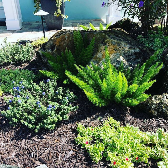This combination worked out very well in a very sunny bed. The plants are Foxtail Fern, Blue Daze and Baby Sun Rose.