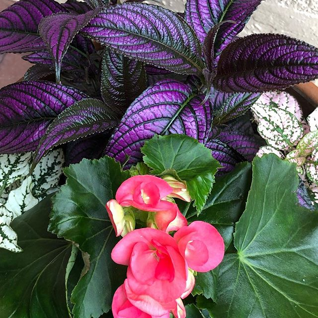 Love this color combination: Persian shield, begonia and polka dot plant.
