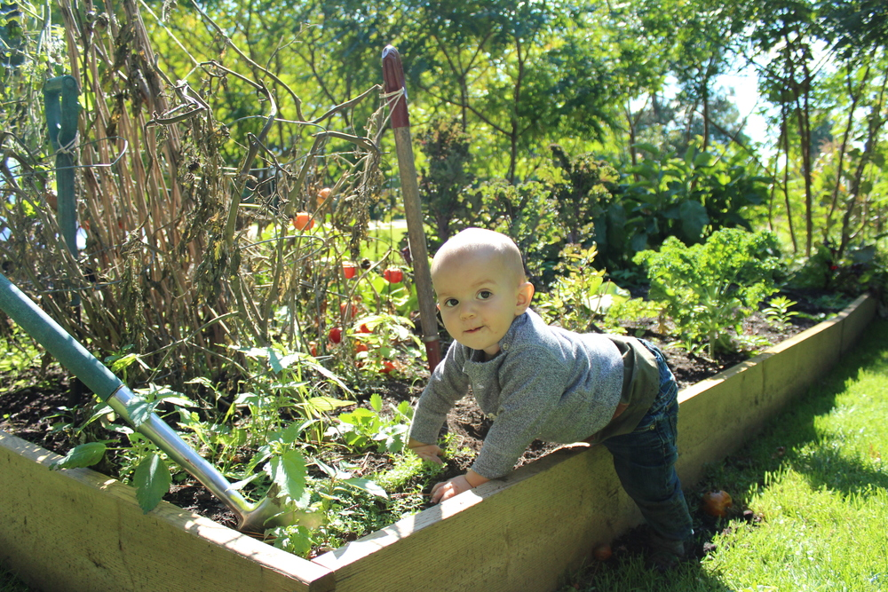 Our official little foodie, working in the garden! In the growing season, most of our produce comes from local organic farmers, Amy & Graham of Fiddlefoot Farm.