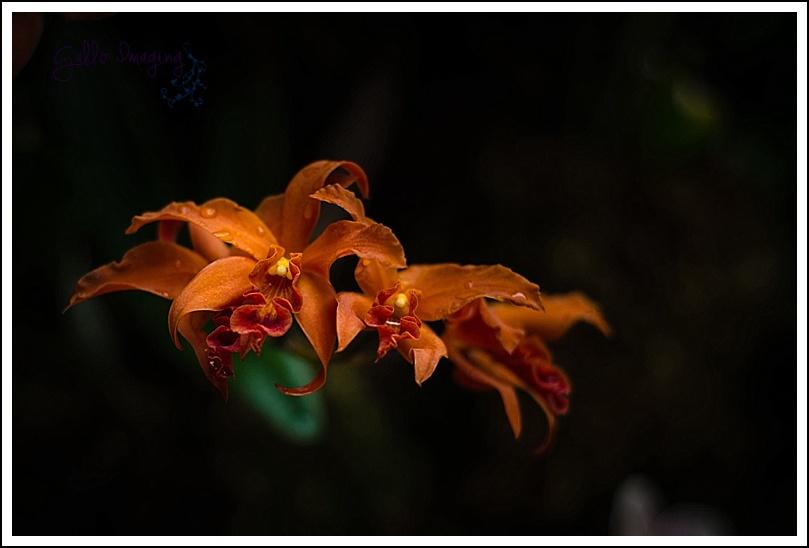 orangeorchids