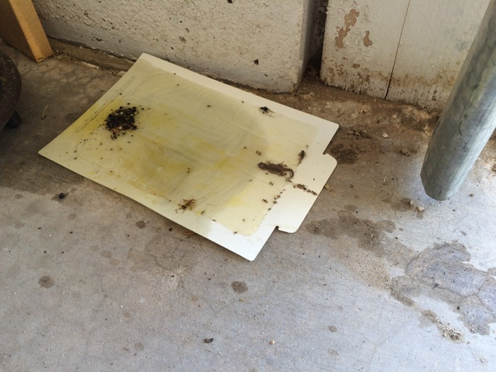 Olive-Oil-Flavored Glue Trap