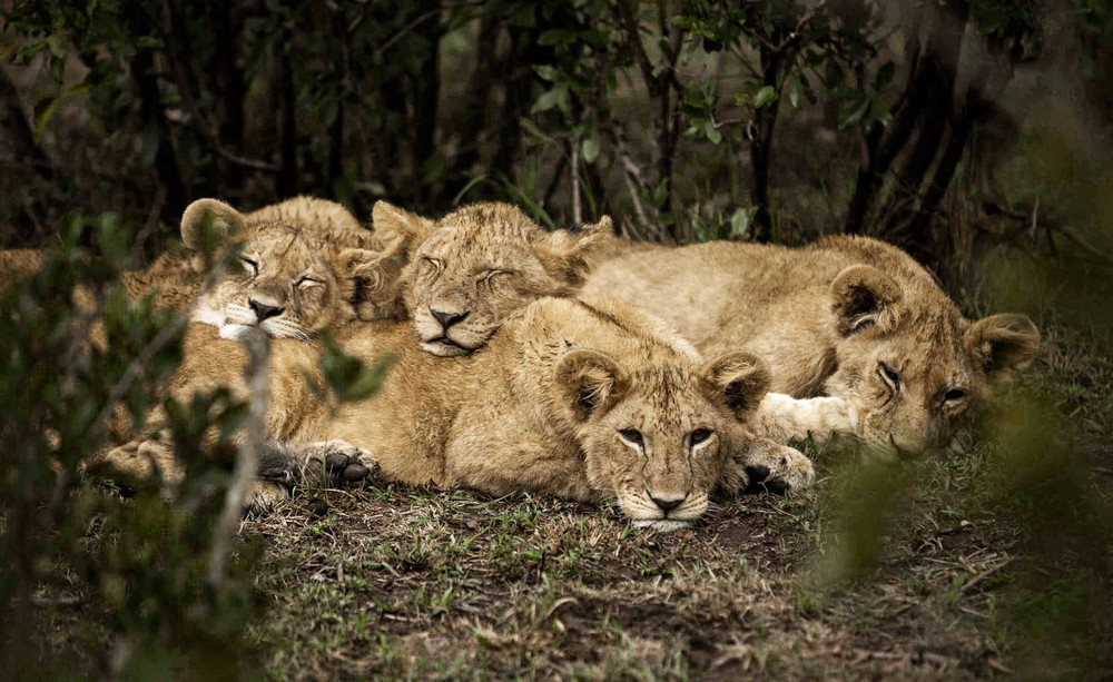 FMM Mara Lions 28a.jpg