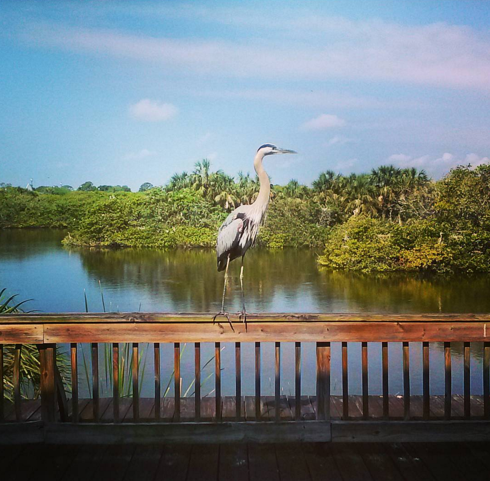 A great blue heron right in front of the studio!