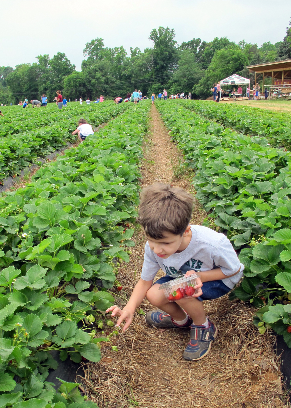 a strawberry farm field trip