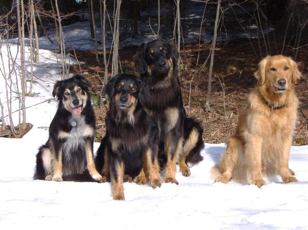 Luca (Border Collie), Koli, Rogan, and Socks (Golden Retriever)