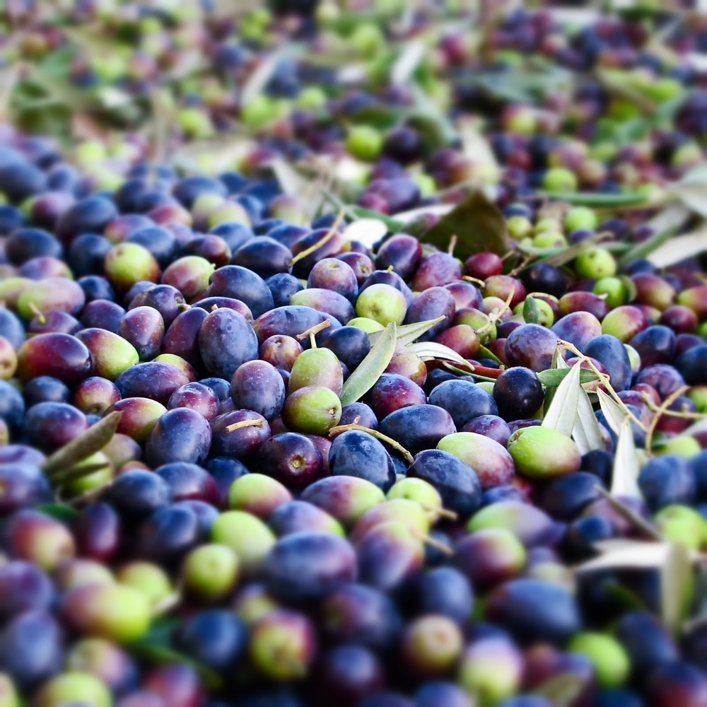 Fresh olives from the tree, ready for the sorting table