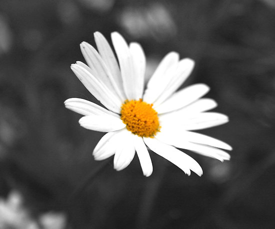 daisies black and white, Beautiful flower