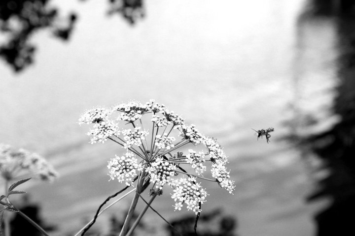 """The flower doesn't dream of the bee.  It blossoms and the bee comes."" -Unknown Lady Bird Lake, Austin Texas 2011"