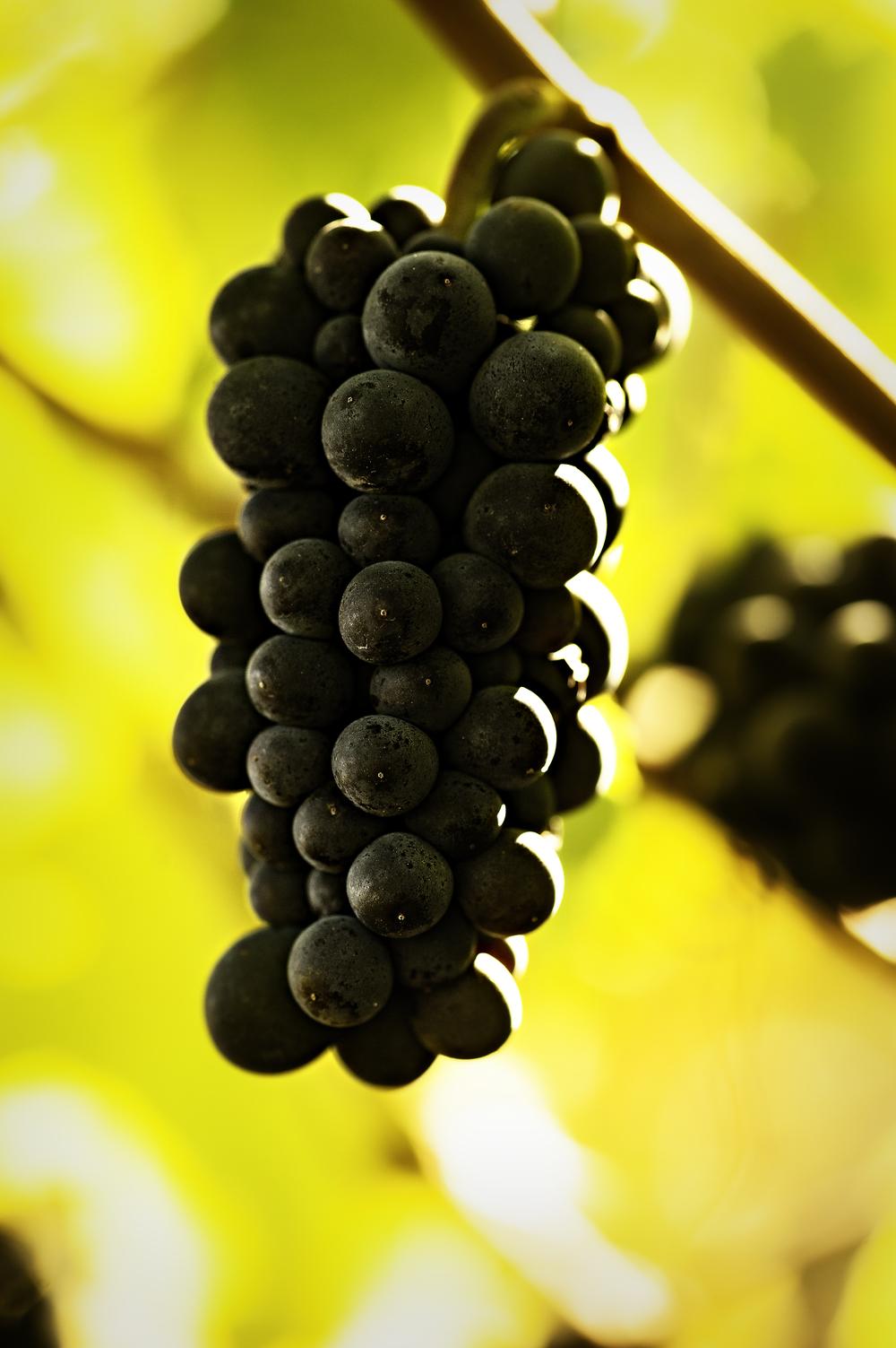 Pinot Cluster.jpg