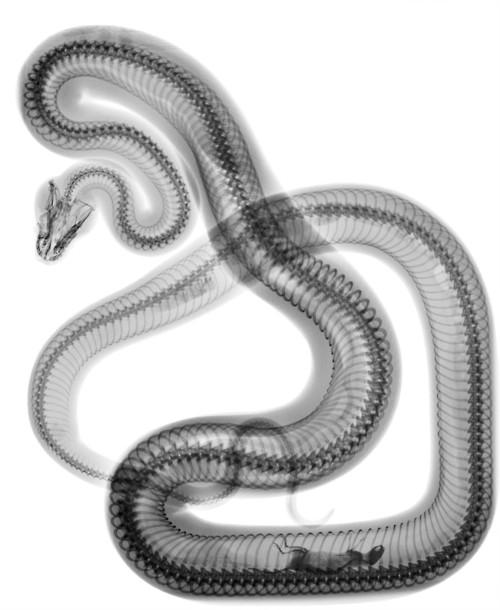 snake-xray.jpg