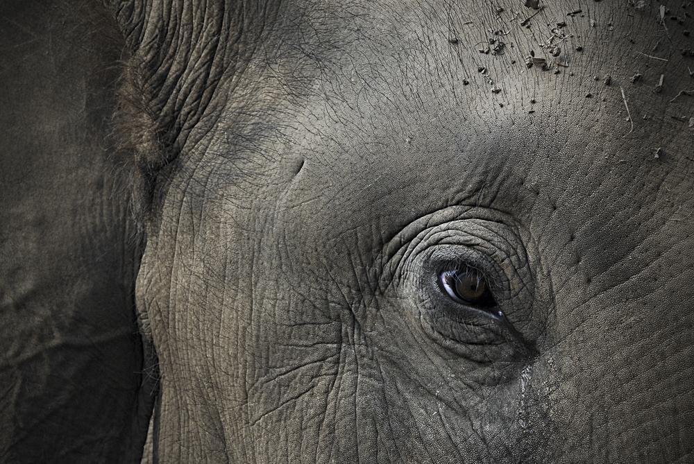 Ex labour elephant