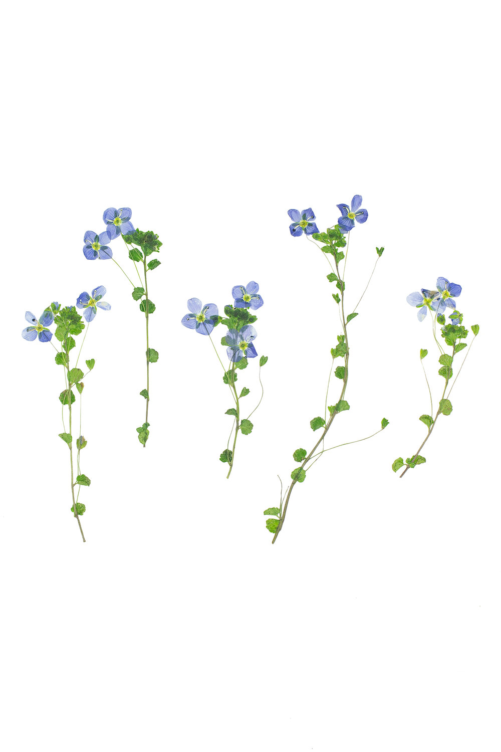 Slender Speedwell / Veronica filiformis