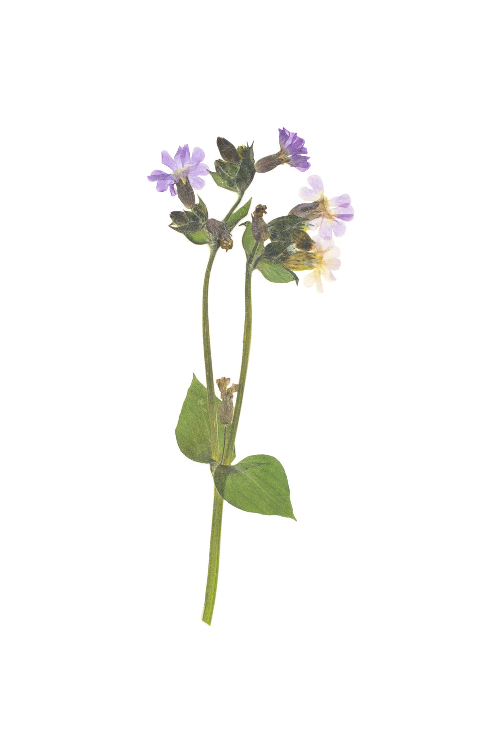 Silene dioica / Red Campion