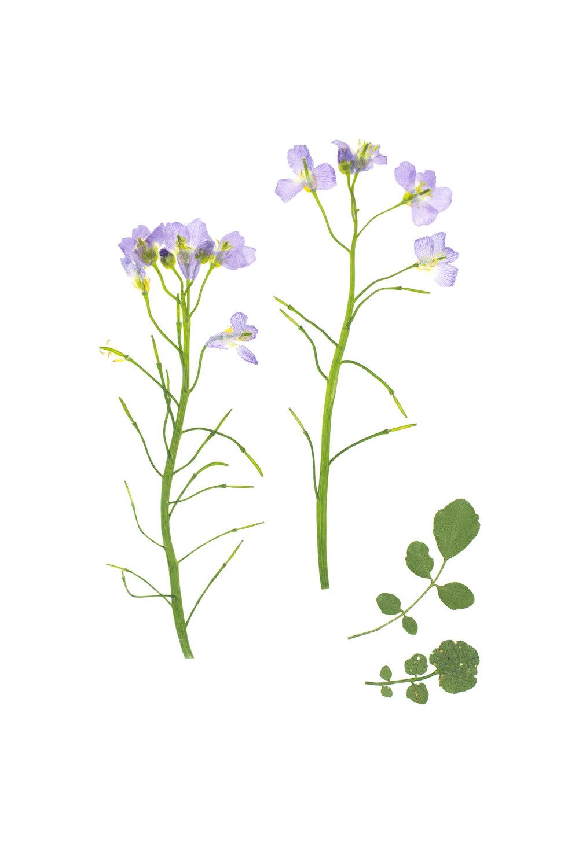 Cardamine pratensis / Cuckoo Flower