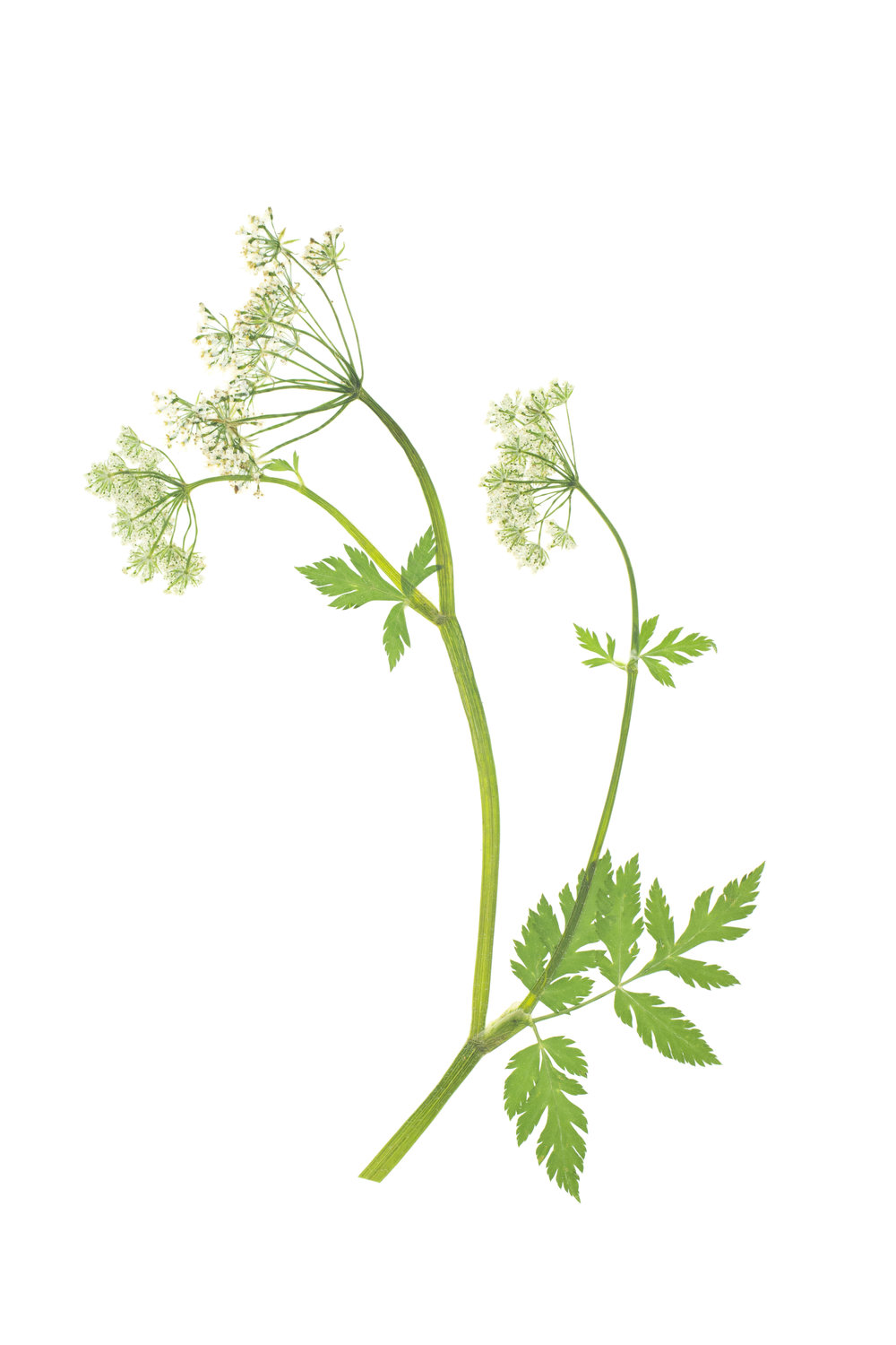 Anthriscus nitida / Glossy Chervil