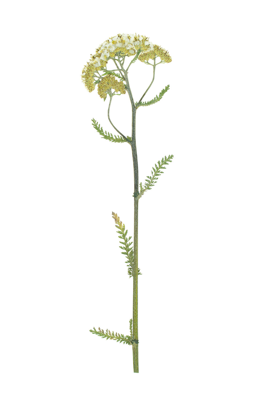 Achillea millifolium / Yarrow