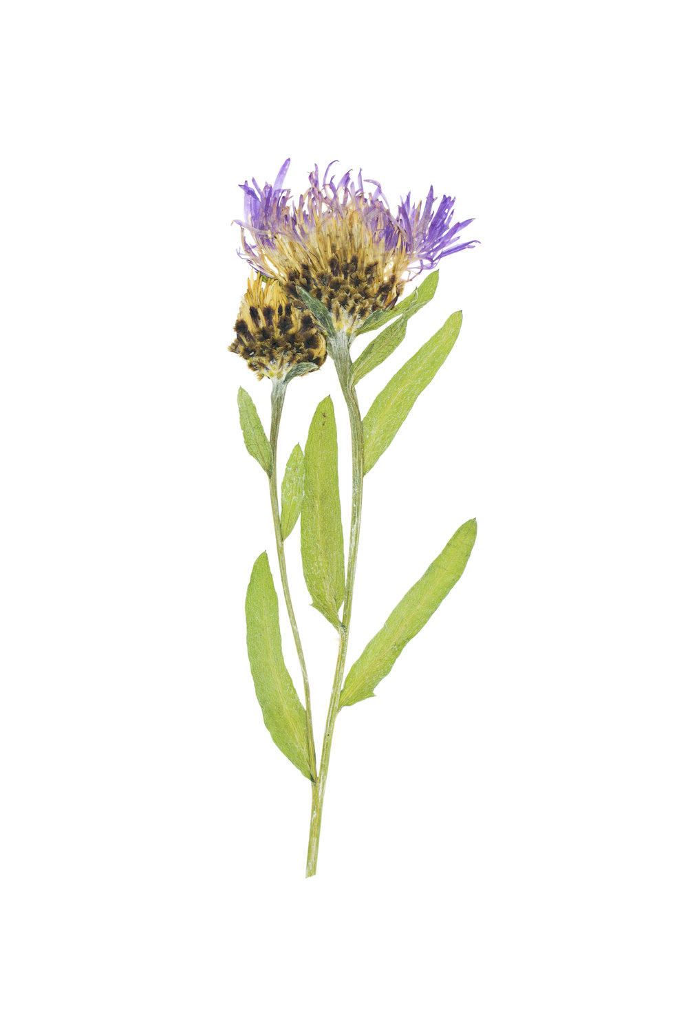 Centaurea jacea / Brownray Knapweed