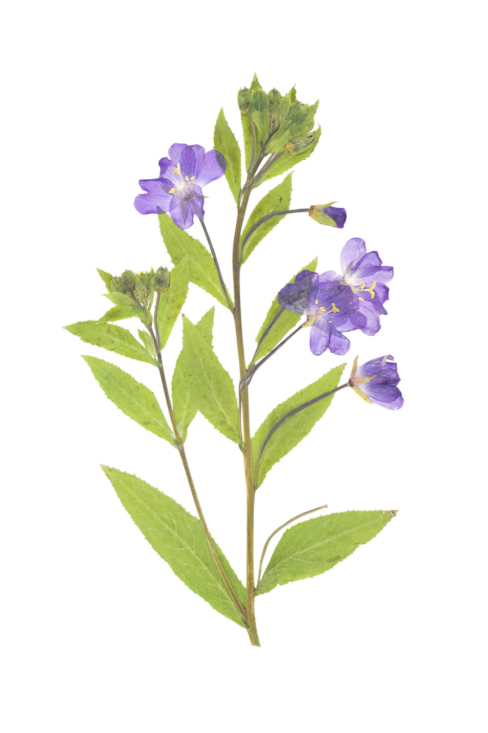 Great Willowherb / Epilobium hirsutum