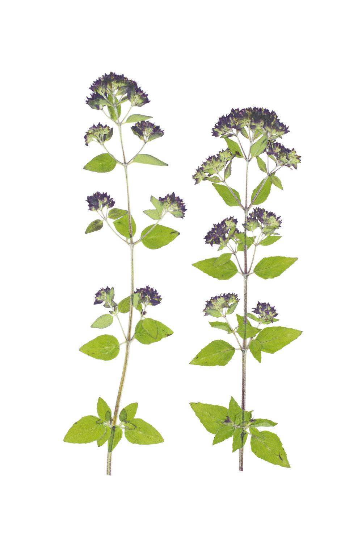 Origanum vulgare / Oregano