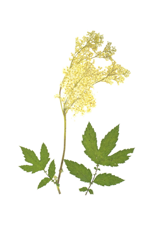Filipendula ulmaria / Meadowsweet