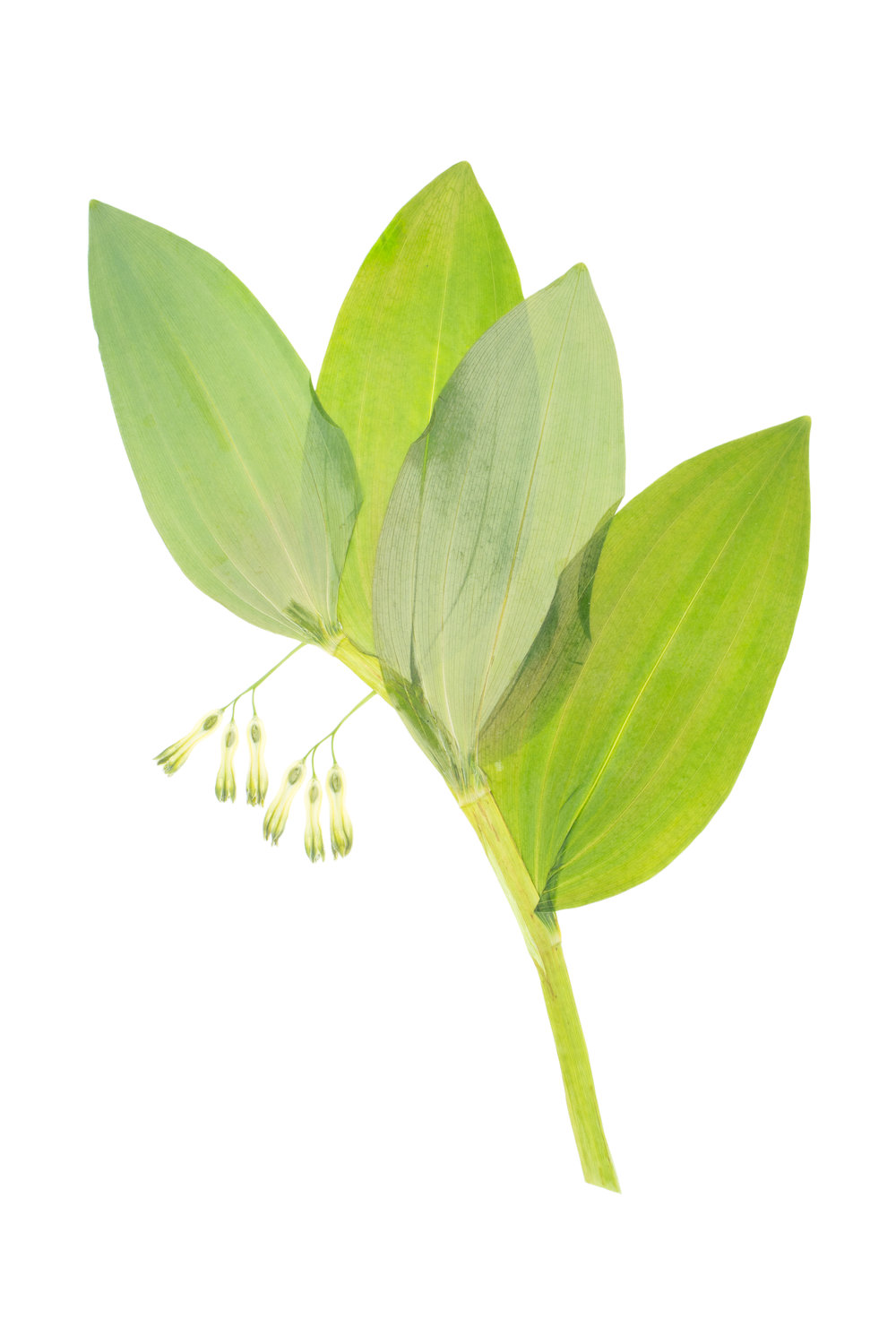 Polygonatum multiflorum / Solomon's Seal