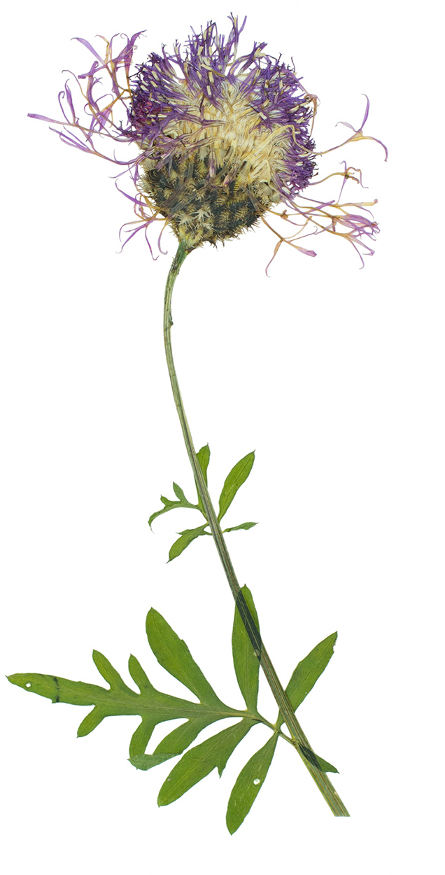 Centaurea scabiosa  / Greater Knapweed
