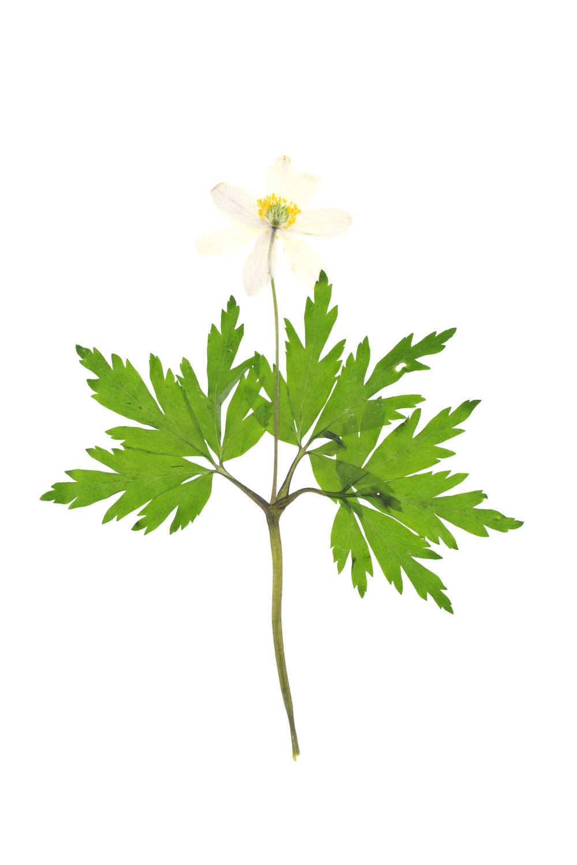 Anemone nemorosa / Wood Anemone
