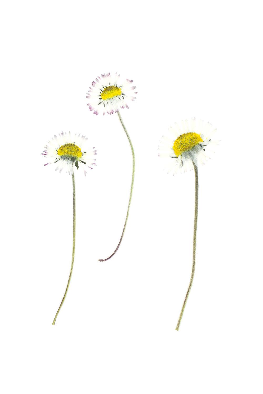 Bellis perennis / Daisy