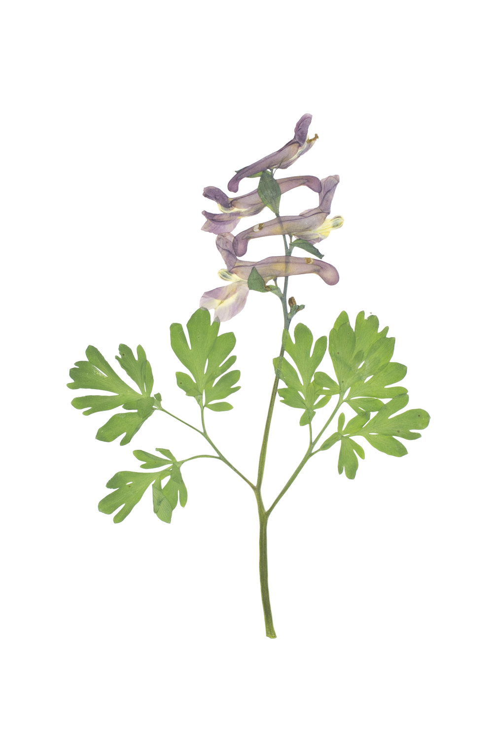 Hollow Root / Corydalis cava