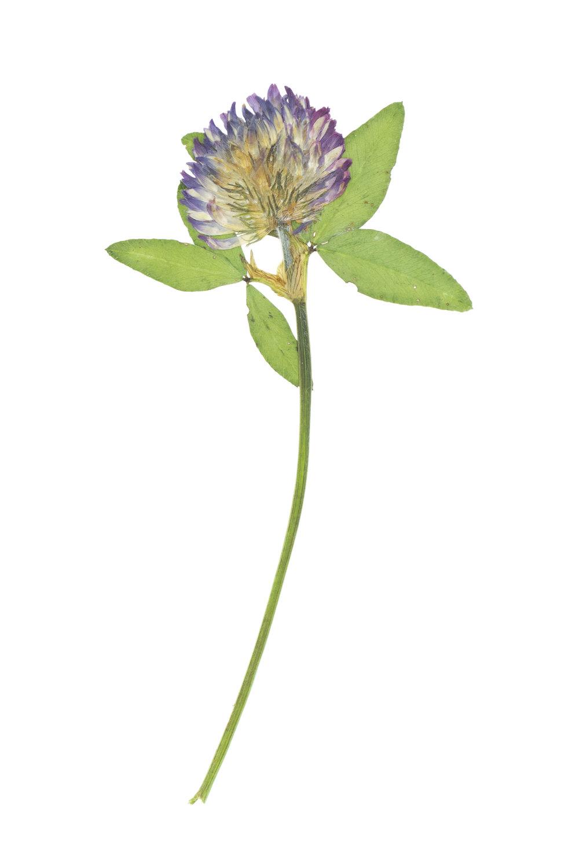 Zigzag Clover / Trifolium medium