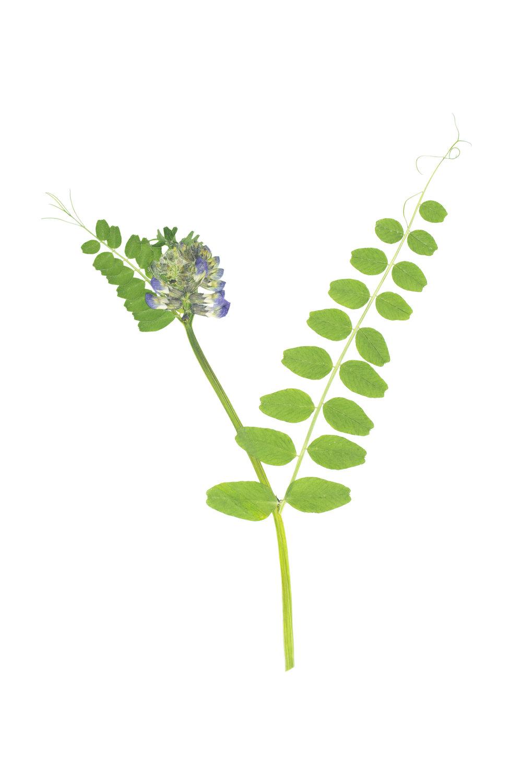 Vicia sepium / Bush Vetch