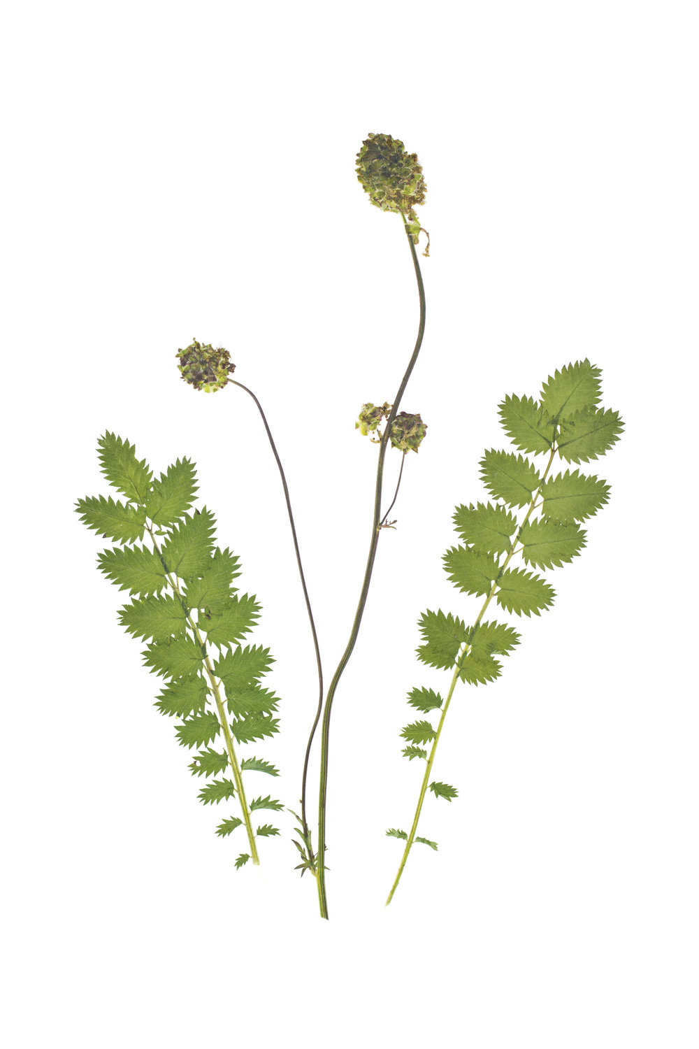Sanguisorba minor / Salad Burnet