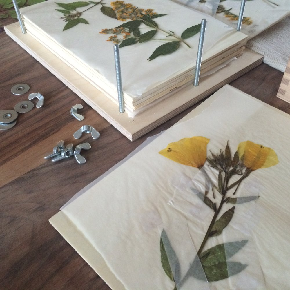 Inspect the plants after 24 hours to rearrange the specimens or to replace paper as needed.