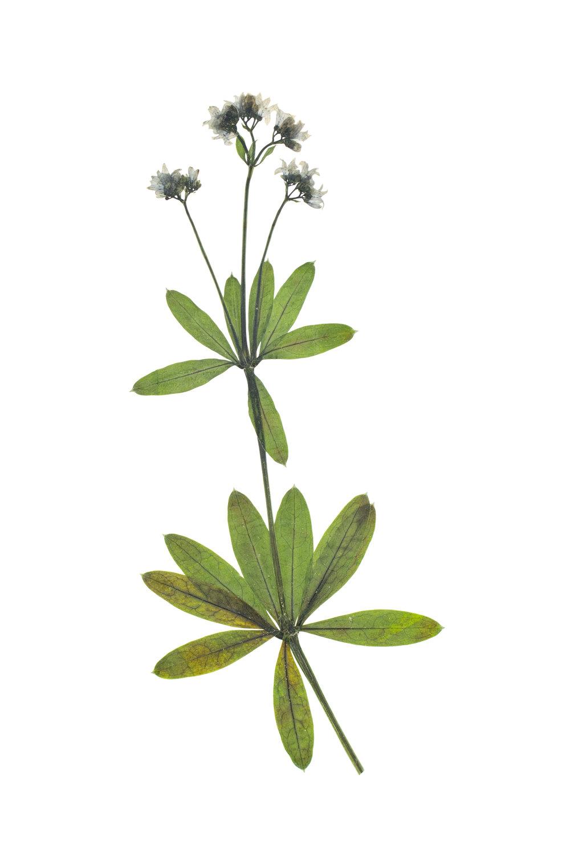 Galium odoratum / Sweet Woodruff