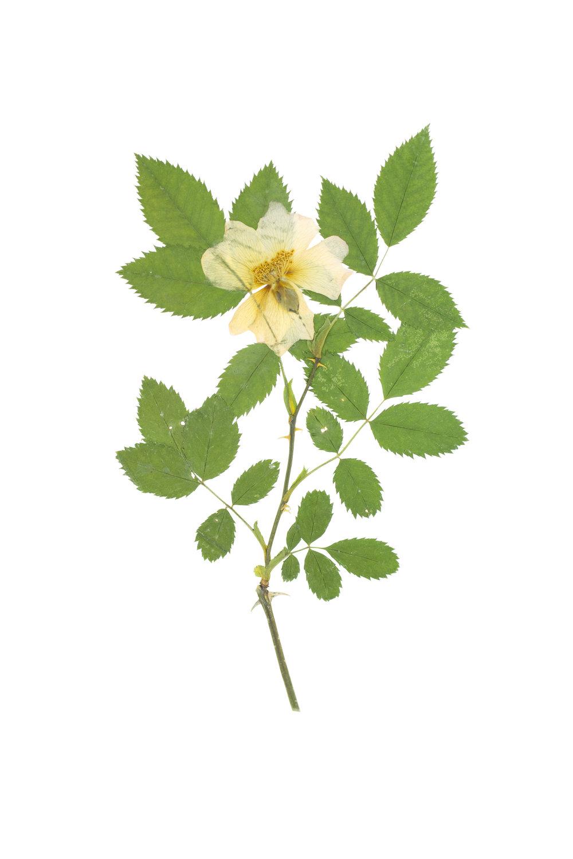 Rosa arvensis / Field Rose